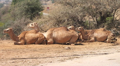 Camels lined up along road near Salalah, Oman